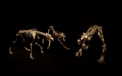 Kodiak brown Bear, grey Wolf skeletons